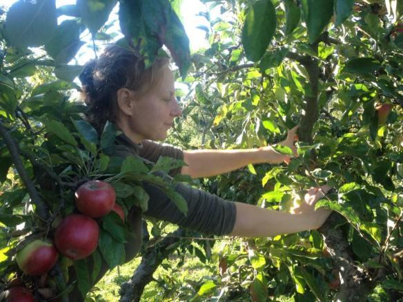zber jablk